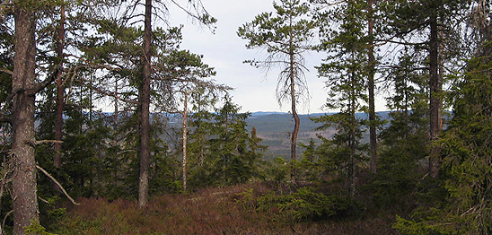 Forest landscape north Sweden